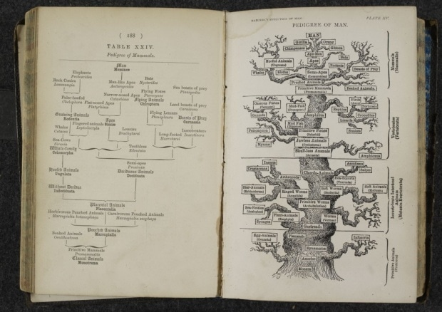 Ernst Haeckel's diagram of the evolution of man. Image: British Library